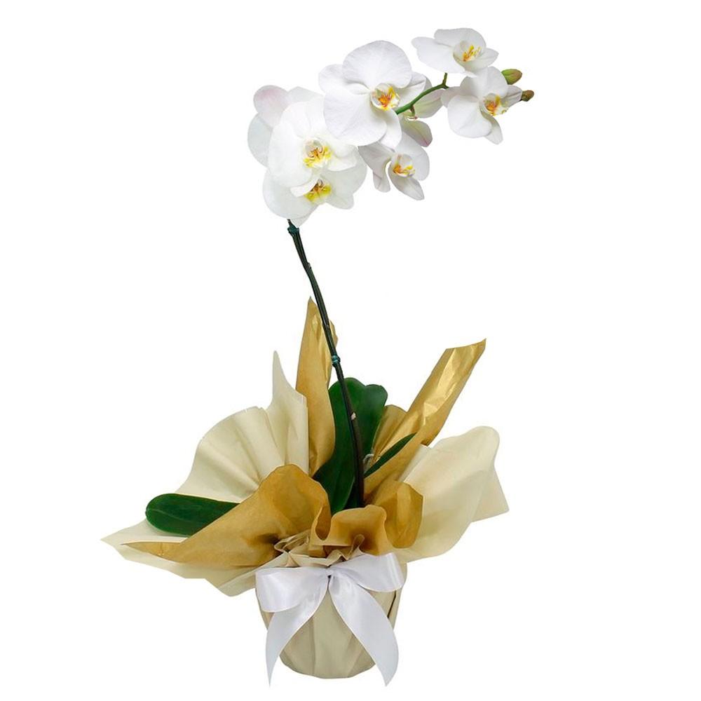 orquídea phalaenopsis branca uniflores