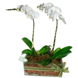 Vasos nobres de Orquídeas