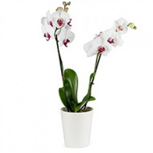 Orquídea branca 2 hastes