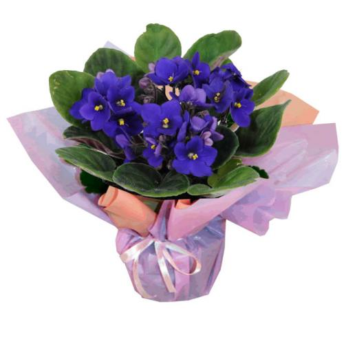 Vasinho de Violetas